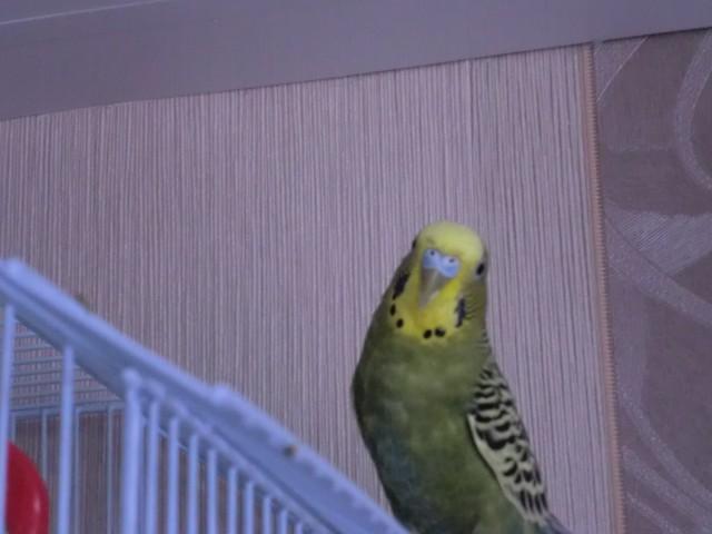Определение пола и возраста попугаев № 8 - CIMG6620.JPG