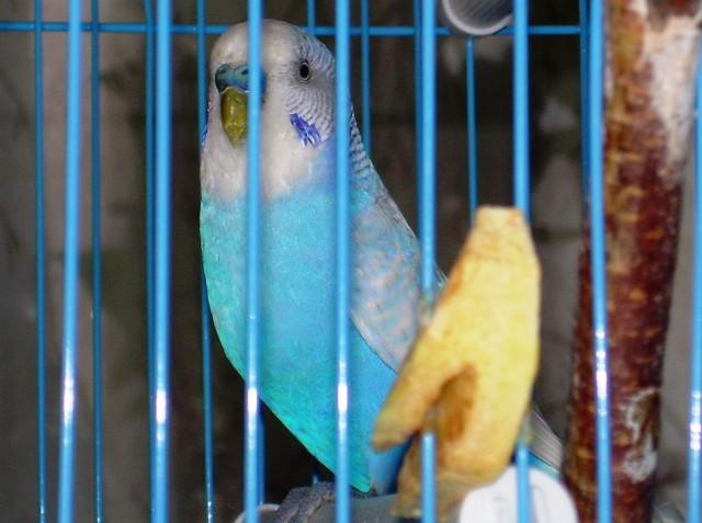 Определение пола и возраста попугаев № 9 - DSCN3402..JPG