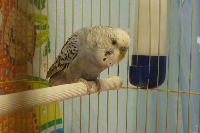 Определение пола и возраста попугаев № 9 - P1090808.JPG
