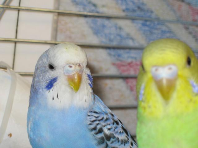 Определение пола и возраста попугаев № 9 - IMG_2798.JPG