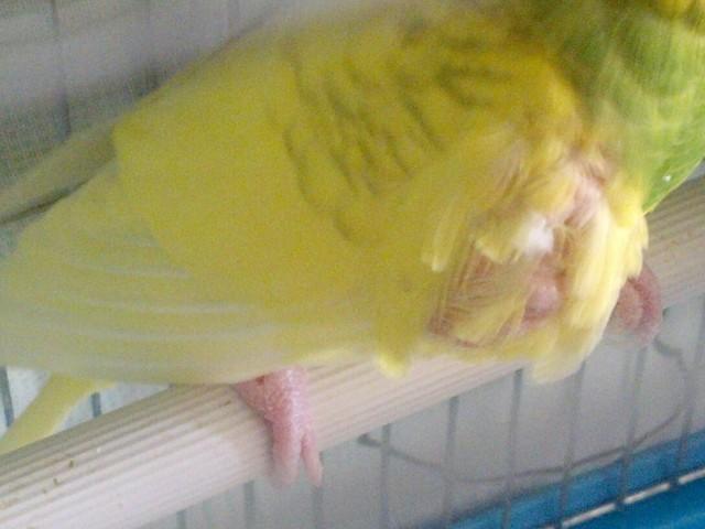 Приболел попугай, опухоль на крылышке - zxDG39A0jfI.jpg