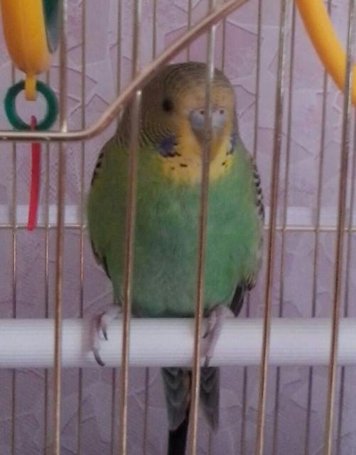 У попугая стала коричневой восковица. - 20140921_165236-1-1-1.jpg