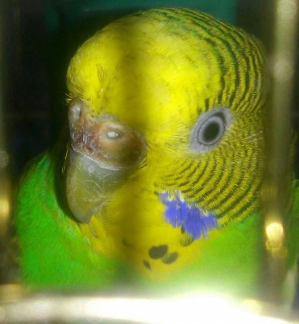 У попугая стала коричневой восковица. - 20150325_192159-1-1-1.jpg