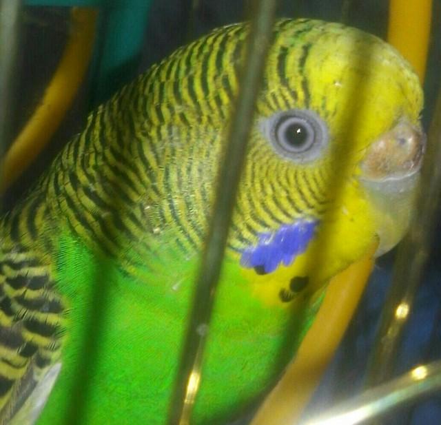 У попугая стала коричневой восковица. - 20150325_192134-1-1-1.jpg