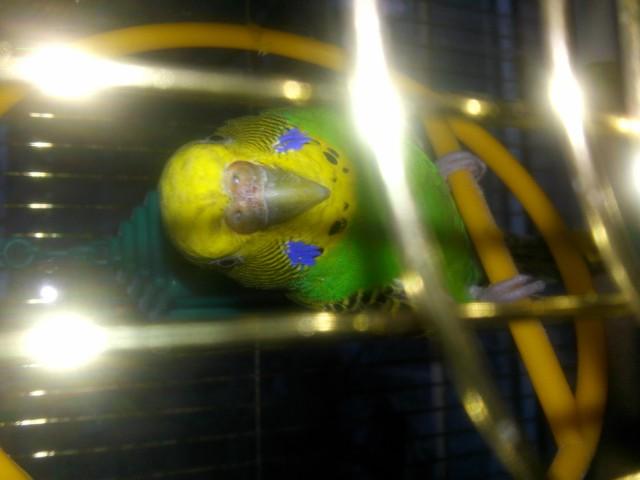 У попугая стала коричневой восковица. - 20150325_192218.jpg
