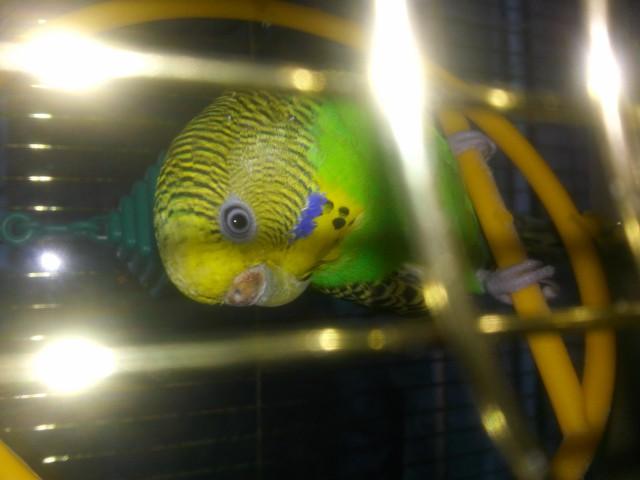 У попугая стала коричневой восковица. - 20150325_192205.jpg