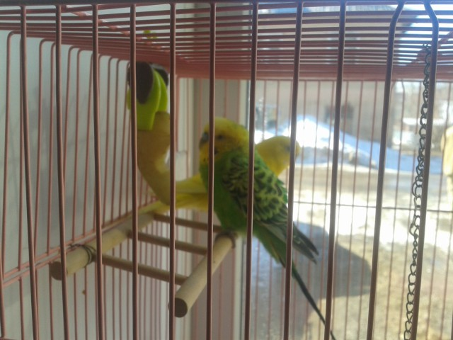 попугай хохлится - 2015-03-27 09.56.27.jpg