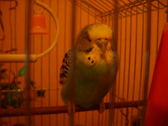 Попугай постоянно спит, плохо ест - SS858455.JPG
