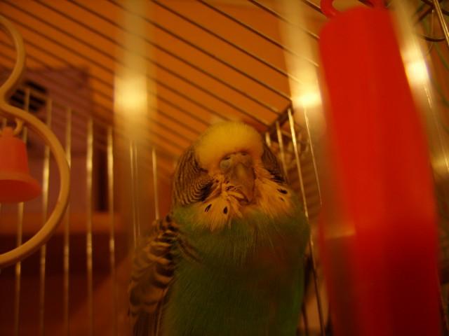 Попугай постоянно спит, плохо ест - SS858471.JPG