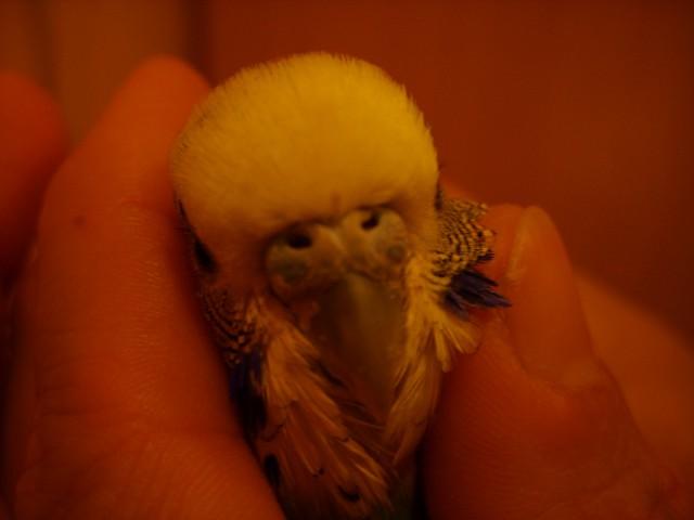 Попугай постоянно спит, плохо ест - SS858476.JPG