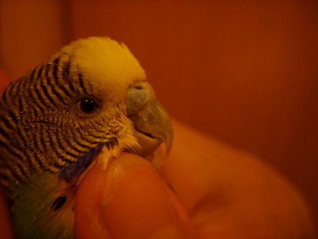 Попугай постоянно спит, плохо ест - SS858477.JPG