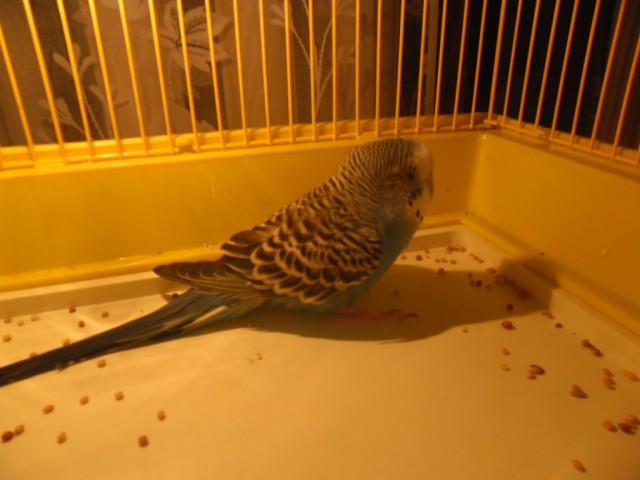 Заболел попугай, не ест, не летает - SAM_3313.JPG