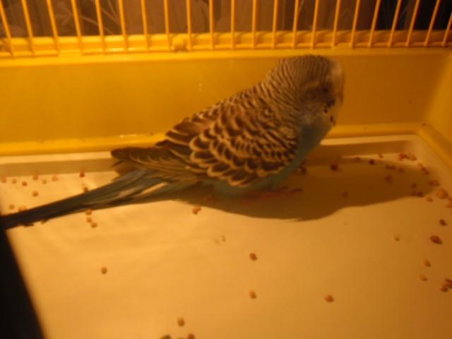 Заболел попугай, не ест, не летает - SAM_3315.JPG