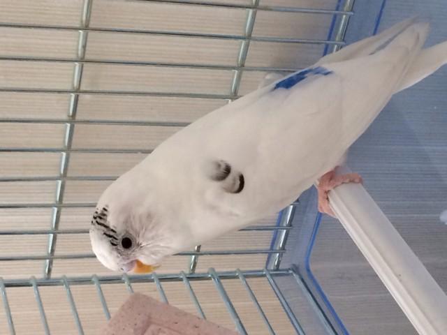 Отдадим волнистого попугая - image.jpg
