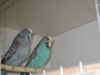 Выставочные волнистые попугайчики г Реутов, Москва - IMG_6352.JPG