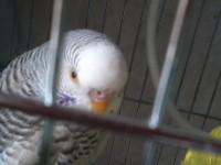 проблема при разведения волнистых  попугаев - 1429015677563.jpg