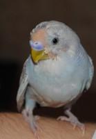 Попугай лысеет - Изображение 423.jpg