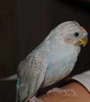 Попугай лысеет - Изображение 424.jpg