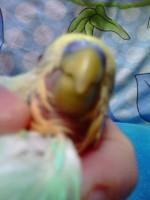 отсутствие перьев вокруг клюва - Photo0107.jpg
