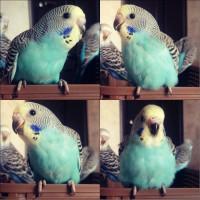 Ручной птенец-самочка волнистого попугая. - 333.jpg