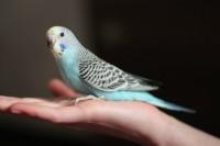 Ручной птенец-самочка волнистого попугая. - 54912ab2f56f.jpg