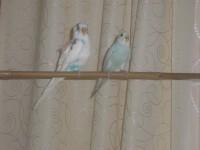 помогите! у птички нога растет прямо из крыла! - IMG_3616.JPG