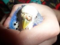 Заболел попугайка - SAM_2873.JPG
