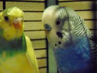 Клещ у пары попугаев - DSC00019.JPG