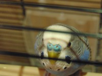 Клещ у пары попугаев - DSC00026.JPG