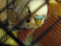 Клещ у пары попугаев - DSC00030.JPG