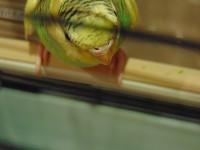 Клещ у пары попугаев - DSC00027.JPG