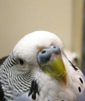 Клещ у пары попугаев - 6.JPG