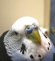 Клещ у пары попугаев - 7.JPG