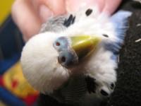 Клещ у пары попугаев - 3.JPG