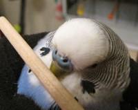 Клещ у пары попугаев - 1.JPG