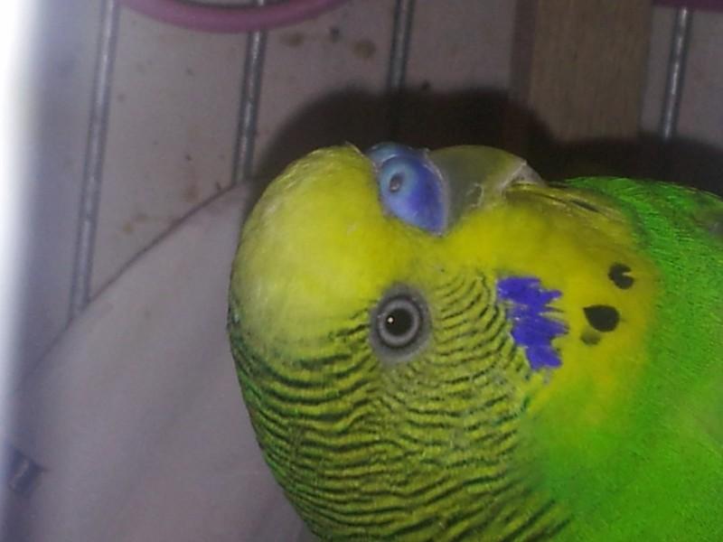 Помогите определить здоров ли попугай? - IMG_20150510_204943.jpg