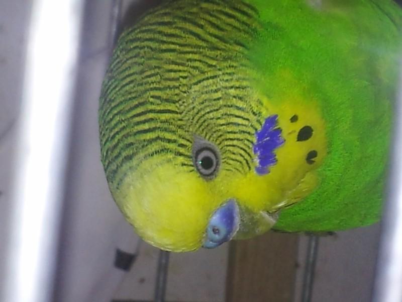 Помогите определить здоров ли попугай? - IMG_20150510_205021.jpg