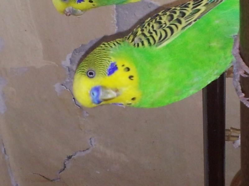 Нужно обрезать клюв попугаю? - IMG_20150512_145202.jpg