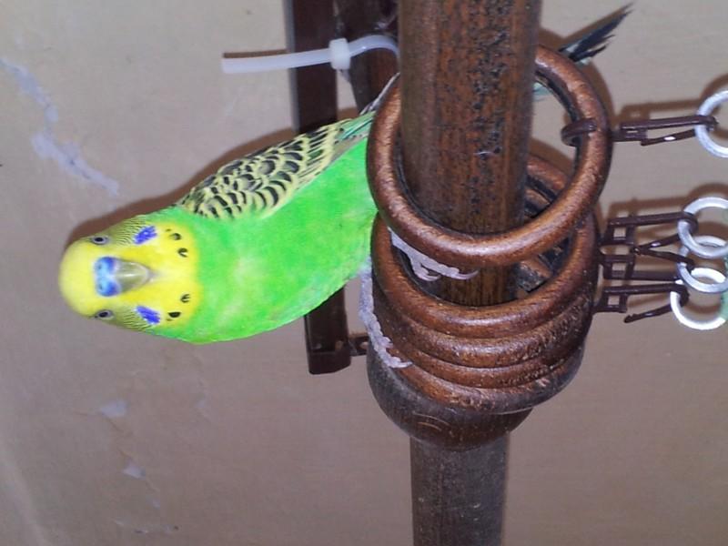Нужно обрезать клюв попугаю? - IMG_20150512_145229.jpg
