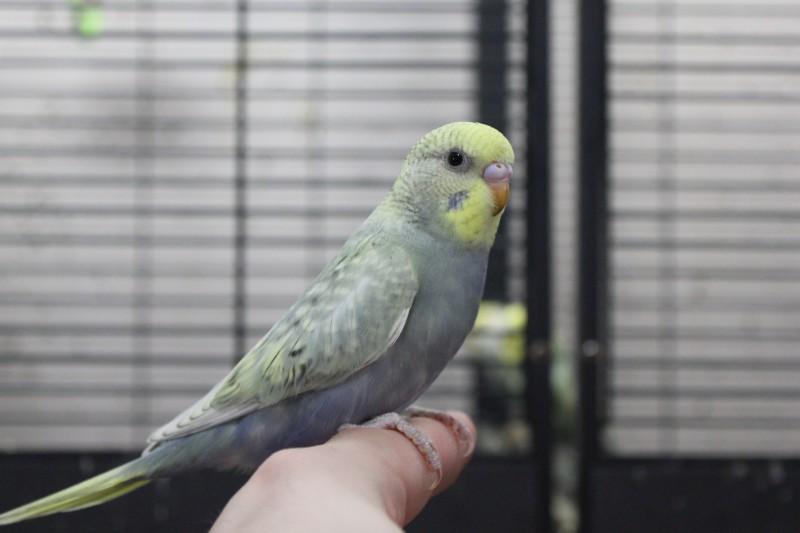 Птенцы волнистого попугая(Москва) - IMG_6764.JPG