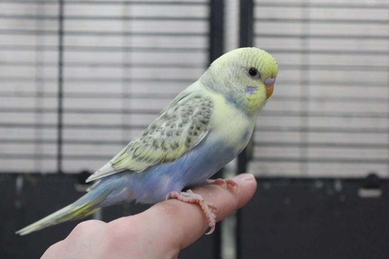 Птенцы волнистого попугая(Москва) - IMG_6750.JPG