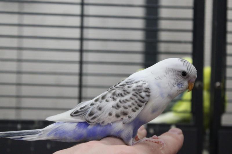 Птенцы волнистого попугая(Москва) - IMG_6813.JPG