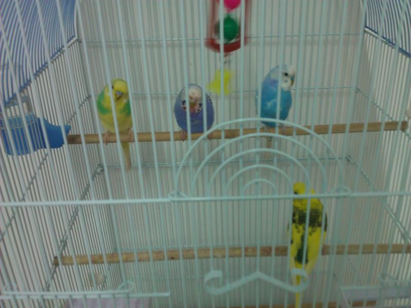 Вот на этой фотографии 2 самца по краям синий и жёлтый , а по серединке фиолетовая самочка. И внизу сидит самка. - WP_002741.jpg