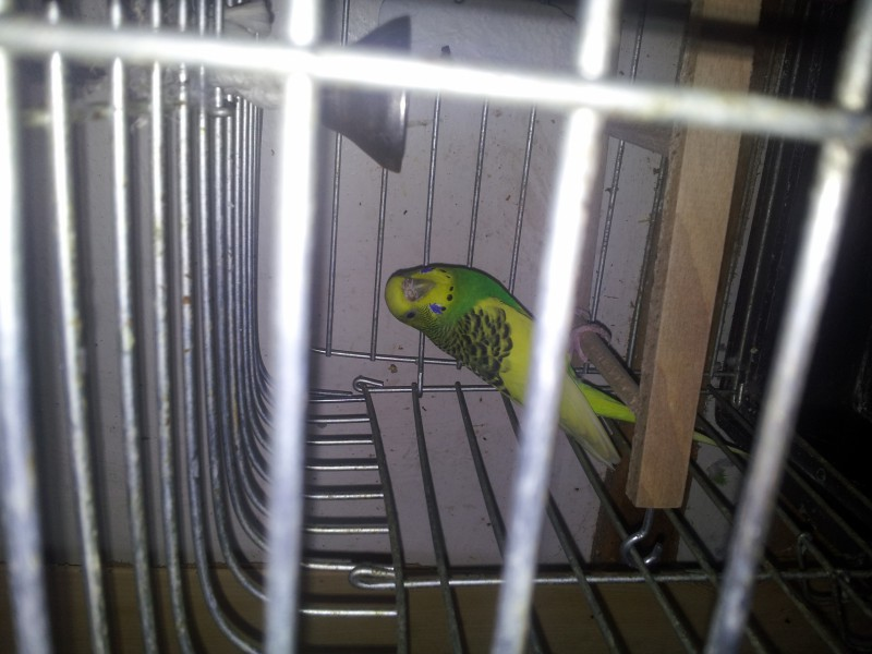 Помогите определить здоров ли попугай? - IMG_20150517_144201.jpg