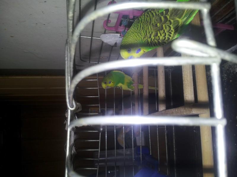 Помогите определить здоров ли попугай? - IMG_20150517_144210.jpg