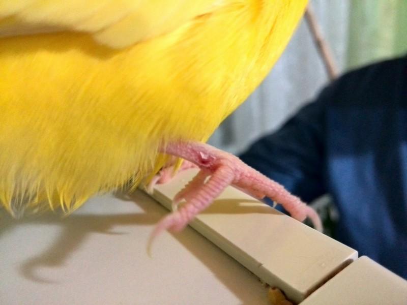 Попугай хромает, диарея - image.jpg