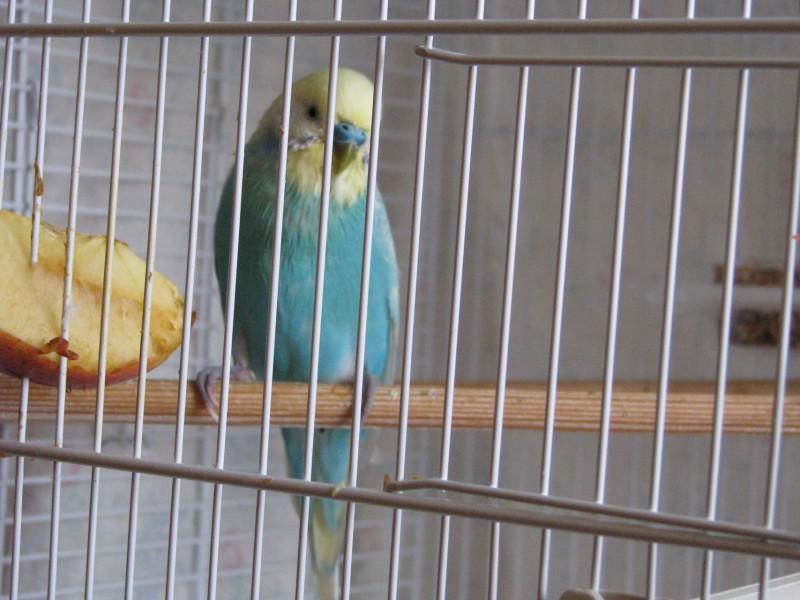 Судороги у волнистого попугайчика - IMG_1537.JPG