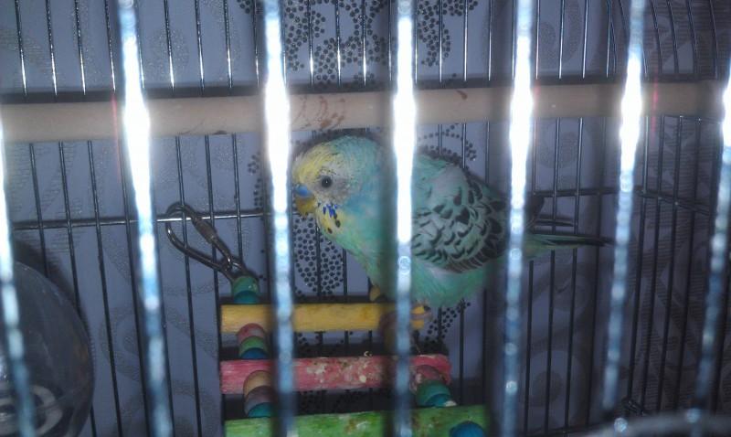 Помогите, пожалуйста, у попугая рвота и плохой помет - IMAG0002.jpg