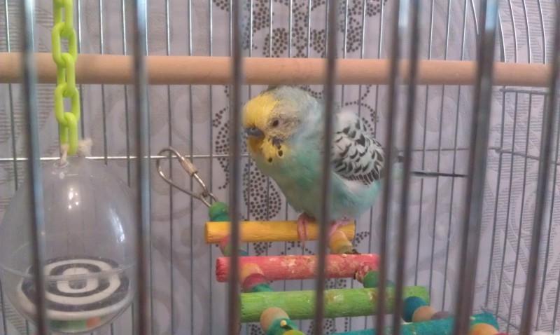 Помогите, пожалуйста, у попугая рвота и плохой помет - IMAG0003.jpg