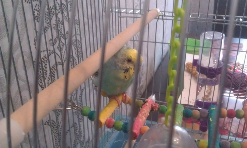 Помогите, пожалуйста, у попугая рвота и плохой помет - IMAG0004.jpg